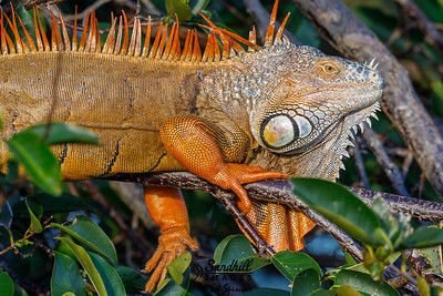 Male iguana naturalized in Florida