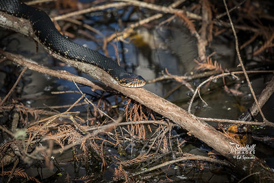 Banded water snake environmental photo.