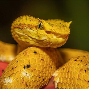 Eyelsh viper