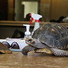Donna Phillips from the Museum of Science in Boston brought three reptiles to the Fitchburg Public Library for the kids to see. The kids got to see this red footed tortoise she brought to show them. SENTINEL & ENTERPRISE/JOHN LOVE
