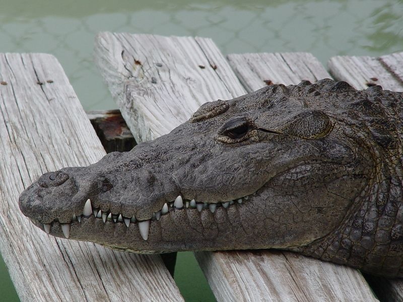 <b>American Crocodile</b> at Wooten's Park, Ochopee, FL (February 7, 2003)   American crocodiles have long, slender snouts, which distinguish them from their cousin the alligator. Also unlike the alligator, the fourth tooth on the bottom jaw of the American crocodile is visible when its mouth is closed. Adult crocodiles are 7 to 15 feet long and weigh 150 to 450 pounds.  Status: Endangered.  Population: There are approximately 500 to 1,200 American crocodiles in Florida.  Threats: Once hunted intensively for their hides, today poaching and the loss of habitat to human development are the greatest threats faced by American crocodiles.   Survival: Crocodiles can reach 50 to 60 years of age.