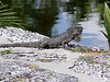 """Green Iguana <i>(Iguana iguana)</i> at <a href=""""http://newenglander.smugmug.com/gallery/1454800"""">Fairchild Tropical Botanic Garden</a>  (February 11, 2006)"""
