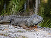 """Green Iguana <i>(Iguana iguana)</i> at <a href=""""http://newenglander.smugmug.com/gallery/1454800"""">Fairchild Tropical Botanic Garden</a>  There are several iguanas in residence at <a href=""""http://newenglander.smugmug.com/gallery/1454800"""">Fairchild Tropical Botanic Garden</a>.  This is a """"mama"""" who was extremely protective of her young one (2 pictures to the right).  Although called green iguanas, these animals are actually variable in color. The adults become more uniform in color with age, whereas the young may appear more blotchy or banded between green and brown. Color of an individual may also vary based upon its mood, temperature, health, or social status.  (February 11, 2006)"""