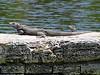 """Green Iguana <i>(Iguana iguana)</i> at <a href=""""http://newenglander.smugmug.com/gallery/1454800"""">Fairchild Tropical Botanic Garden</a>  (April 14, 2006)"""