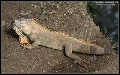 Green Iguana, Iguana Bridge, La Fortuna, Costa Rica, November 2014