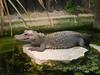 03 July 2011. West African Dwarf Crocodile (Osteolaemus tetraspis tetraspis) at Marwell Wildlife. Copyright Peter Drury 2011