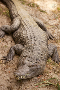 New Guinea Crocodile