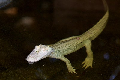 Albino American Alligator