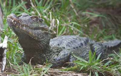 Smooth-Fronted Caiman