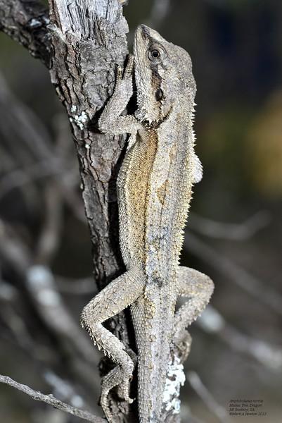 Amphibolurus norrisi  Male