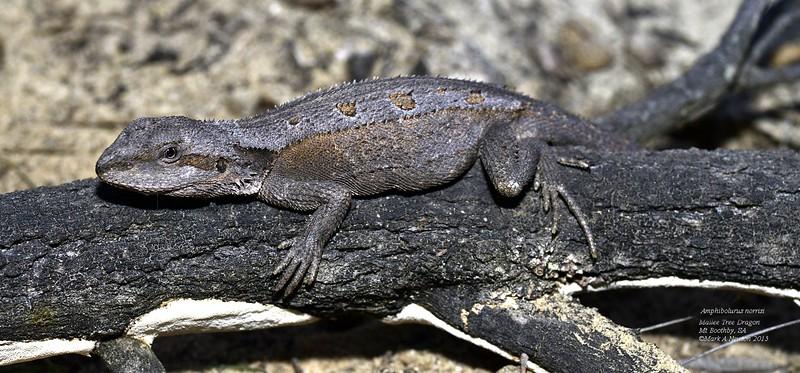 Amphibolurus Norrisi Mallee Tree Dragon Mark Newton