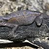 Amphibolurus norrisi   female