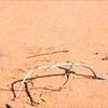 Mallee Dragon (Ctenophorus fordi)  shown feeding on ants