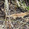Ctenophorus pictus