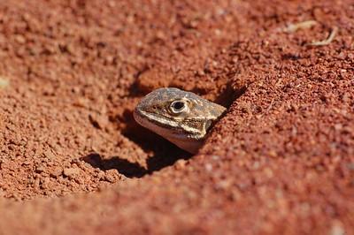 Ctenophorus pictus - female digging hole to lay eggs