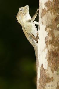 Southern Angle-headed Dragon