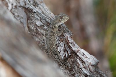 Eastern Water Dragon - Juvenile