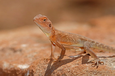 Slater's Ring-tailed Dragon