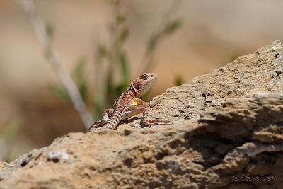 Ring-tailed Dragon