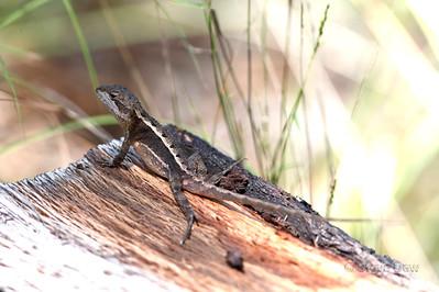 Black-spined Nobbi Dragon