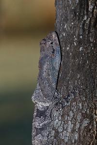 Frill-necked Dragon