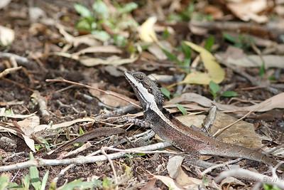 Gilbert's Dragon or Ta-ta Lizard