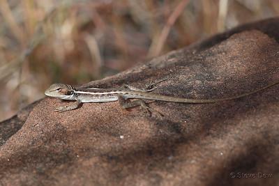 Long-nosed Dragon