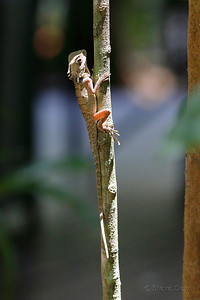 Boyd's Forest Dragon - Juvenile