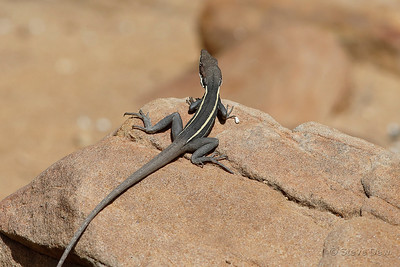 Long-nosed Water Dragon