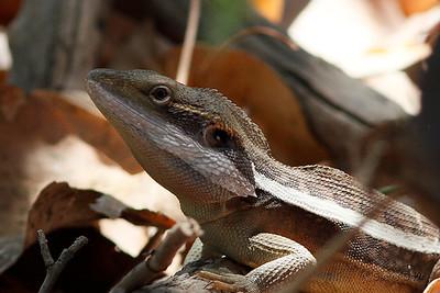 Gilbert's Dragon
