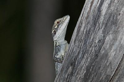 Gilbert's Dragon Gilbert's Dragon