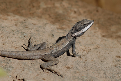 Horner's Dragon
