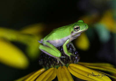 Baby Tree Frog in north Alabama