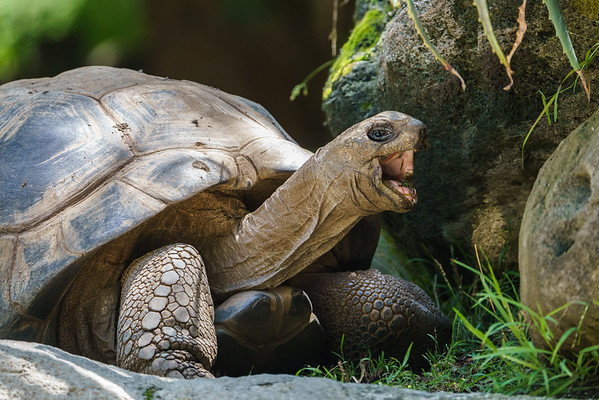 A Galapagos tortoise smiles for the camera.  Breeding programs like those at the Los Angeles Zoo are helping with the recovery of endangered species like these.