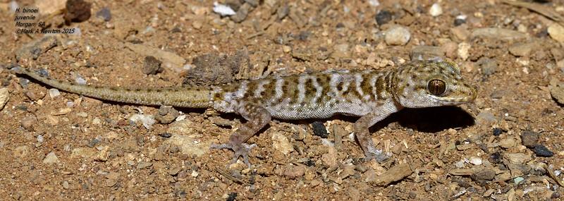 Heteronotia binoei  (juvenile)