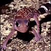 Underwoodisaurus milii