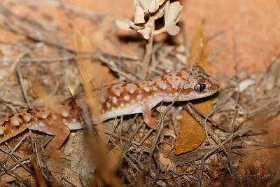 White-spotted Ground Gecko