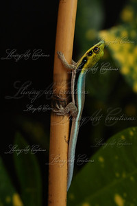 Phelsuma klemmeri ( Neon Day Gecko )