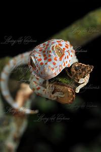 Gekko gecko ( Tokay Gecko )