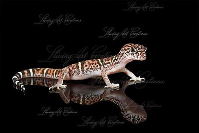 Coleonyx elegans  ( Yucatan Banded Gecko )