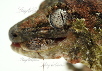 Rhacodactylus chahoua ( Mossy Prehensile tailed gecko) eating a B. dubia roach.  Notice the 'rippling' of the eye....Andrew caught this anomaly on accident  with a different species of gecko.  He then wanted to see if he could recreate the image, and this was the result!