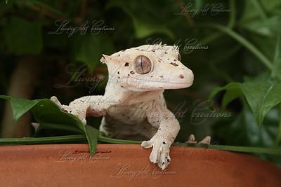 Rhacodactylus ciliatus ( Crested Gecko )