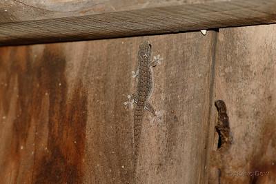Four-clawed Gecko