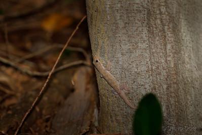 Asian House Gecko?