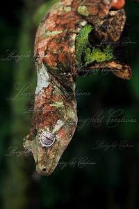 Rhacodactylus chahoua (Mossy Prehensile tailed gecko)