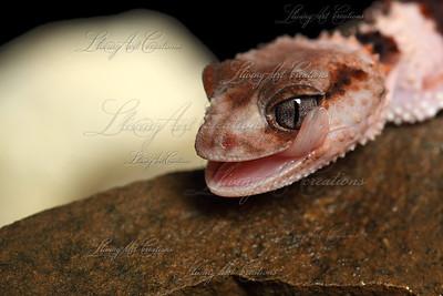 Nephrurus wheeleri ( Banded Knobtail Gecko)