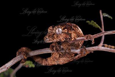 Rhacodactylus chahoua ( Mossy Prehensile tailed gecko)