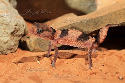 Nephrurus wheeleri ( Banded Knobtail gecko )