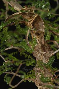 Uroplatus phantasticus ( Satanic Leaftail Gecko)