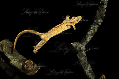 Rhacodactylus ciliatus jumping ( Crested Gecko )